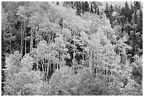 Aspen grove in autumn. Rocky Mountain National Park ( black and white)