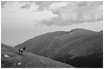 Elk on alpine slopes. Rocky Mountain National Park ( black and white)