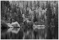 Autumn Color on the slopes around Bear Lake. Rocky Mountain National Park ( black and white)