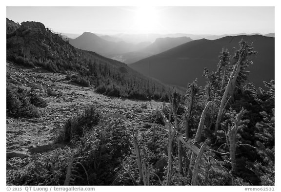 Krumholtz trees at sunrise. Rocky Mountain National Park (black and white)