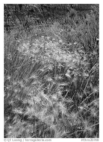 Barley grasses with badlands in background, North Unit. Theodore Roosevelt  National Park (black and white)