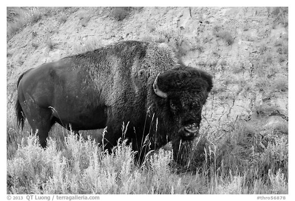 Bison. Theodore Roosevelt National Park (black and white)