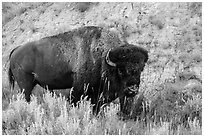 Bison. Theodore Roosevelt National Park ( black and white)