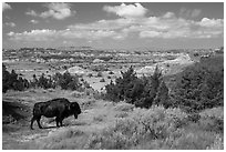Bison and badlands landscape in summer. Theodore Roosevelt National Park ( black and white)