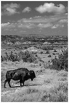 Buffalo and badlands landscape in summer. Theodore Roosevelt National Park, North Dakota, USA. (black and white)
