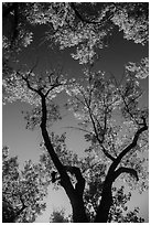 Looking up cottonwood trees. Theodore Roosevelt National Park, North Dakota, USA. (black and white)