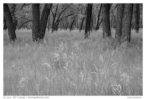 Grasses in summer and cottonwoods. Theodore Roosevelt National Park (black and white)