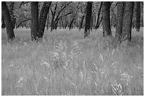 Grasses in summer and cottonwoods. Theodore Roosevelt National Park ( black and white)
