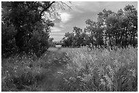 Trail, tall grasses, and cottonwoods, Elkhorn Ranch Unit. Theodore Roosevelt National Park, North Dakota, USA. (black and white)
