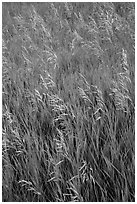 Tall grasses in summer, Elkhorn Ranch Unit. Theodore Roosevelt National Park ( black and white)