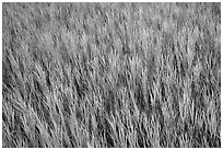 Grasses in summer, Elkhorn Ranch Unit. Theodore Roosevelt National Park, North Dakota, USA. (black and white)