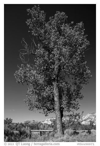 Tall cottonwood, and Elkhorn Ranch site fence, Elkhorn Ranch Unit. Theodore Roosevelt National Park (black and white)