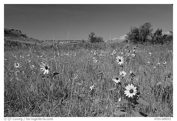 Sunflowers in prairie. Theodore Roosevelt National Park (black and white)