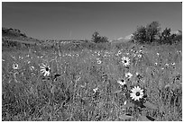 Sunflowers in prairie. Theodore Roosevelt National Park, North Dakota, USA. (black and white)