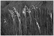 Backlit tall grasses. Theodore Roosevelt National Park ( black and white)