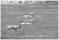Coyote and  prairie dog burrows, South Unit. Theodore Roosevelt National Park ( black and white)