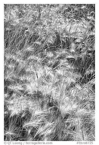 Barley grasses. Theodore Roosevelt National Park (black and white)