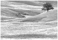 Grassy hills and tree. Wind Cave National Park ( black and white)