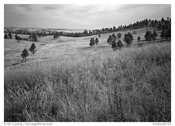 Grasses and rolling hills with pine trees. Wind Cave  National Park (black and white)