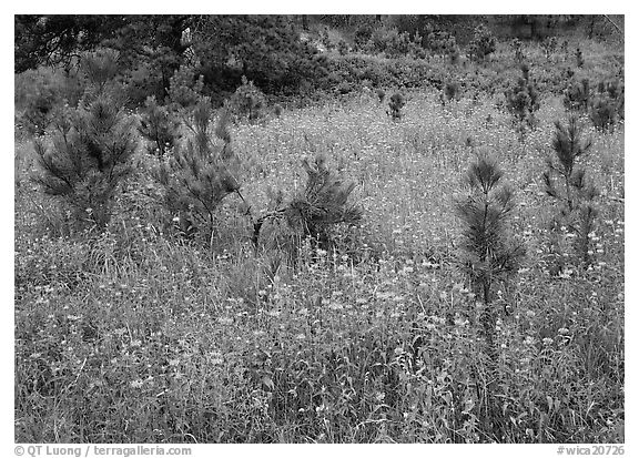 Purple Horsemint flowers and young ponderosa pines. Wind Cave National Park (black and white)