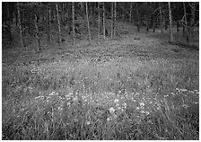 Flowers on meadow and hill covered with pine forest. Wind Cave National Park, South Dakota, USA. (black and white)