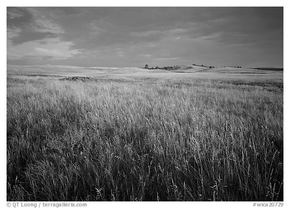 Tall prairie grass and dark sky at Bison Flats,  early morning. Wind Cave  National Park (black and white)