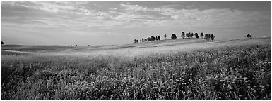 Prairie landscape with wildflowers and trees. Wind Cave National Park (Panoramic black and white)