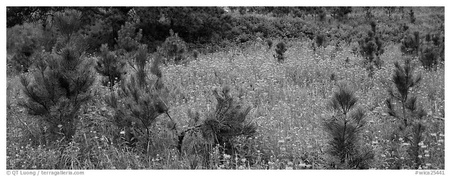 Meadow and young Ponderosa pine trees. Wind Cave National Park (black and white)