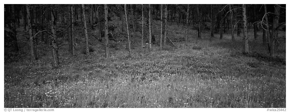 Forest edge in summer. Wind Cave National Park (black and white)