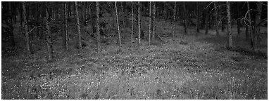 Forest edge in summer. Wind Cave National Park (Panoramic black and white)