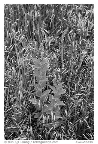 Close-up of wildflowers and grasses. Wind Cave National Park (black and white)