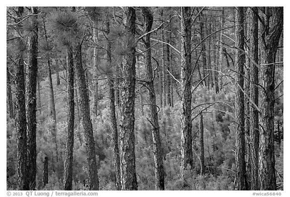 Pine forest. Wind Cave National Park (black and white)