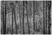 Pine forest. Wind Cave National Park ( black and white)