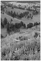 Wildflowers on Rankin Ridge and ponderosa pines. Wind Cave National Park ( black and white)