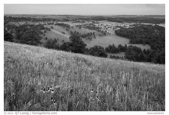 Grasses and flowers on Rankin Ridge above rolling hills with pine forests. Wind Cave National Park (black and white)