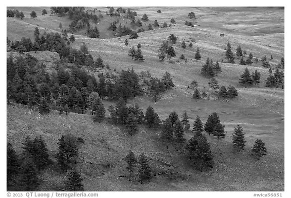 Rolling hills with ponderosa pines and grasslands. Wind Cave National Park (black and white)