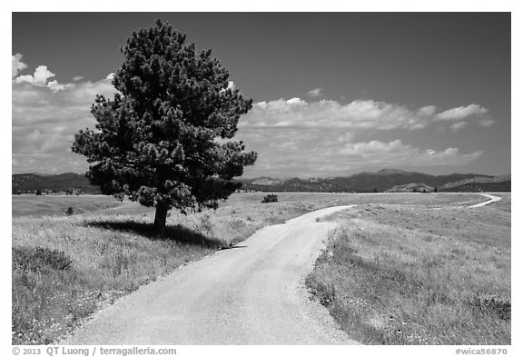 Gravel road and pine tree. Wind Cave National Park (black and white)