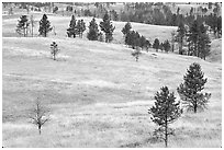 Ponderosa pines on rolling hills. Wind Cave National Park ( black and white)