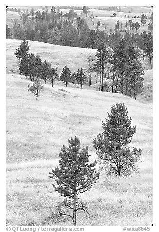 Rolling hills with ponderosa pines. Wind Cave National Park (black and white)