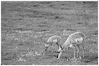 Pronghorn Antelope cow and calf in the prairie. Wind Cave National Park, South Dakota, USA. (black and white)