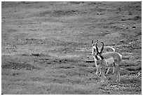 Pronghorn Antelope bull and cow. Wind Cave National Park, South Dakota, USA. (black and white)