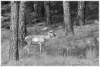 Pronghorn Antelope in pine forest. Wind Cave National Park, South Dakota, USA. (black and white)