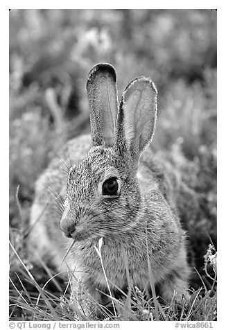 Cottontail rabbit. Wind Cave National Park (black and white)