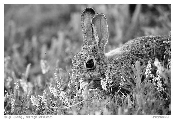Rabbit and wildflowers. Wind Cave National Park, South Dakota, USA.