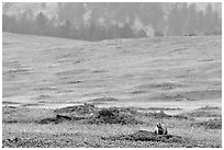 Prairie Dog town. Wind Cave National Park ( black and white)