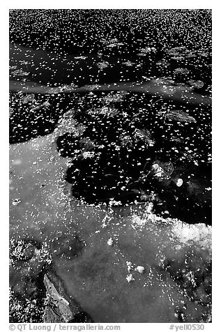 Ice on a small lake. Yellowstone National Park (black and white)