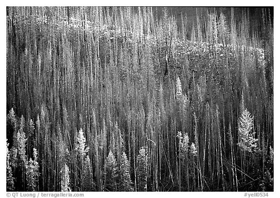 Bare trees on hill. Yellowstone National Park (black and white)