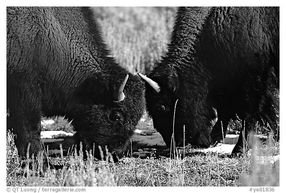 Two buffaloes head to head. Yellowstone National Park (black and white)
