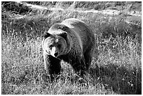 Grizzly bear. Yellowstone National Park ( black and white)