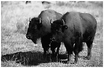 Two bisons. Yellowstone National Park, Wyoming, USA. (black and white)